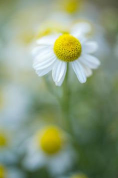 Photograph Chamomile by Mandy Disher on 500px