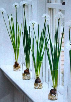 naricissus in a row