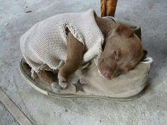 adorable #pitbull puppy
