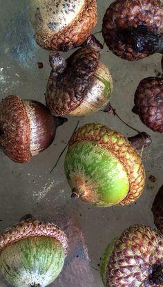 Early acorn crop
