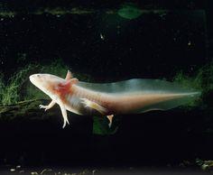 The Axolotl's Extreme Regeneration