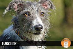 Best Medium Dog Breeds, Medium Sized Dogs Breeds, Medium Dogs, Small Dog Breeds, Entlebucher Mountain Dog, Norwegian Elkhound, Working Cocker, Nanny Dog, Corgi Pembroke