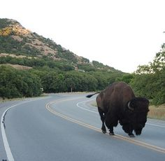 Yes, you actually can see the buffalo moseying down the highway in the Wichita Mountains Wildlife Refuge.  A note of caution:  DO NOT get out of your car, and DO NOT antagonize them.