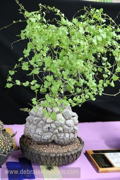 A Dioscorea elephantipes on the trophy table. The plant is owned by Keith Kitoi Taylor of the Sacramento Cactus & Succulent Society, who also created the highly textural pot. What makes this a succulent is the plant's woody caudex, which is a water tank. The vining foliage is deciduous.
