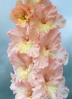 Gladiolus 'Timeless Treasure' (Gladiolus x hortulanus)