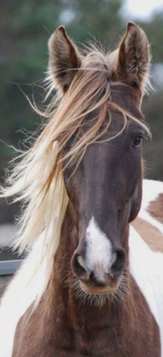 Beautiful Paint pony with a very pretty face and white small blaze on the nose. Lovely wild tossed mane hanging in her face. What a sweet horse!