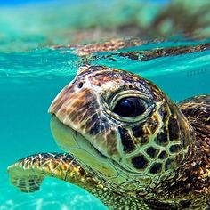 I have seen numerous suggestions for Russian tortoise diet Some great Some awful. Russian Tortoises are nibblers and appreciate broad leaf plants. Baby Sea Turtles, Cute Turtles, Sea Turtle Pictures, Tortoise Turtle, Turtle Love, Ocean Turtle, Turtle Swimming, Fish Ocean, Ocean Creatures