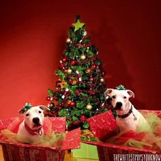 """Christmas Pitties! from """"The Whitest Pups You Know"""" (Photos from day to day life of two silly rescued Pit Bull mixes.)"""
