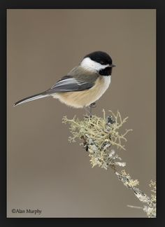 Chickadee -- These birds are a definitely one of my favorites! I have so many memories of going to the park and feeding these birds from my hand with my grandma & watching them on our feeders. Pretty Birds, Love Birds, Beautiful Birds, Animals Beautiful, Beautiful Pictures, Small Birds, Little Birds, Colorful Birds, Ohio Birds