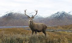 "Ooooh WOW! Red Deer Stag ""Cervus elephus"" in Scotland by markmolloy, via Flickr"