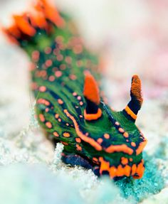 The bizarre and beautiful world of nudibranchs  | Scuba Diving Magazine's 2014 Photo Contest submissions!