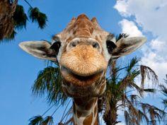Know Our Stars: Giraffes   Busch Gardens Tampa Bay
