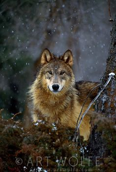 art wolfe snow wolf photo