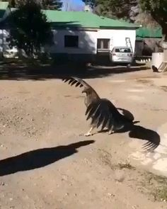 Heart-warming moment giant condor flies in to thank the man who nursed him back to health after he fell from his mother's nest as a baby - Eyebleach Cute Funny Animals, Cute Baby Animals, Animals And Pets, Funny Cats, Giant Animals, Beautiful Birds, Animals Beautiful, Amazing Gifs, Amazing Nature