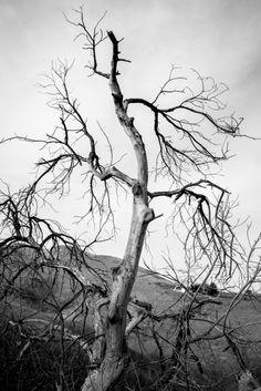 A dry tree