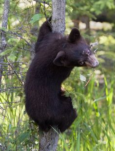 Black bear climbing a tree