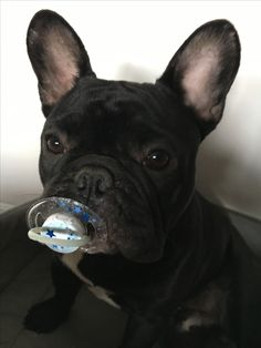 French Bulldog Puppy with a Pacifier, words are useless when there's this much cuteness ; )