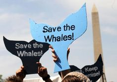"""Encourage Iceland's Ambassador to U.S. to Support Whale Watching, Not Whale Killing! Despite the fact that Iceland is a member of the International Whaling Commission, which has declared a moratorium on commercial whaling, Iceland continues to whale under a politically controversial """"reservation"""" to the moratorium. PLEASE SIGN AND SHARE WIDELY!"""