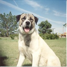 Anatolian Shepherd these are the dogs she breeds to protects the livestock. Guard Dog Training, Training Your Dog, Cute Wild Animals, Animals And Pets, Cold Weather Dogs, Anatolian Shepherd, Group Of Dogs, Street Dogs, Beautiful Dogs