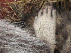 Raccoon paw--so cute!