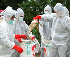 Chinese Scientists getting Rid of Infected Birds | http://infinarium.com/lifestyle/h7n9s-latest-strain-takes-china-by-surprise-mutant-bird-flu-research-going-on-now/