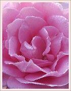 Sara  Raber - Dew Kissed Rose
