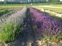 Step into the labyrinth and navigate through rows and rows of perfectly arranged flowers, all of which come together to create a fascinating design. Michigan Vacations, Lake Michigan, Picnic Spot, Weekend Trips, Serenity, Flower Arrangements, Things To Do, Lavender, Places To Visit