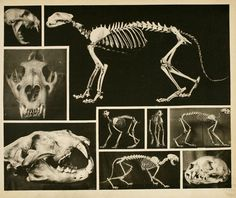 Canid and Felidae Skeletons. Note the similarities in skull structure between the carnivores - forward-facing eyes with depth perception, sharp fangs, and large temporal surfaces for muscle attachment. The size of the mandibular muscles and strong vaulting of the skull affords the massive jaw strength that can be required to crunch through, at a minimum, tough skin and sinew. In the case of the hyena, the mandibles are strong enough to break up the bones of even large cattle.