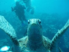 Selfie Sea Turtle Manado, Marine Life, Underwater, Turtle, Selfie, Sea, Animals, Turtles, Animales