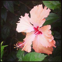 Coral Coast Fiji Hibiscus