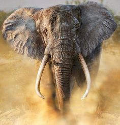 Massacre of the giants: Once hunted to near extinction, Africa's elephants slowly pulled back from the brink Elefant in Afrika bedroht Bull Elephant, Elephant Face, African Elephant, Elephant Images, Elephant Theme, Elephants Photos, Save The Elephants, Beautiful Creatures, Animals Beautiful