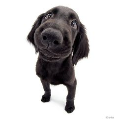 Artlist Collection THE DOG (Flat-coated Retriever) — Did you know? Flat-coated Retrievers love to play in the water