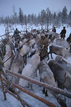 Khanty & Forest Nenets herders gather draft reindeer in a corral. Khanty Mansisyk, W. Siberia, Russia: Russia, Western Siberia: Arctic & Antarctic photographs, pictures & images from Bryan & Cherry Alexander Photography.