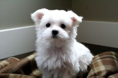 maltese puppy cut grooming - picture for the groomer