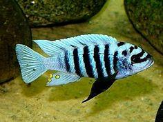 """zebra chilumba"" (Maison reef) - Uploaded by user Turtle Aquarium, Cichlid Aquarium, Cichlid Fish, Tropical Fish Aquarium, Tropical Fish Tanks, Discus, Malawi Cichlids, African Cichlids, Oscar Fish"