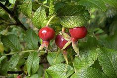 Rosehips Nutritional Value - rosehip tea