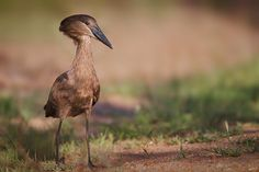 hamerkop    (photo by matt bango)