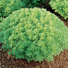 Minette is one of the most eye-catching basils you will ever see! It creates perfect 10-inch spheres of bright green that stay compact and uniform all season. Minette is perfect for edging, miniature knot gardens, or in containers. Pick the flavorful leaves and use fresh or dried in tomato dishes, pasta sauces, vegetables and soups.You can also use it in the garden as a companion plant to repel aphids, mites, and tomato hornworms.