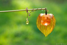 簪作家榮 2012鬼灯簪「狐燈」 Japanese hair accessory - Chinese lantern plant Kanzashi- by Sakae, Japan sakaefly.exblog.jp/