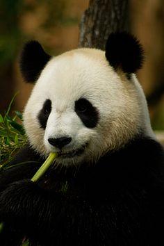 Giant Panda                                                                                                                                                                                 More