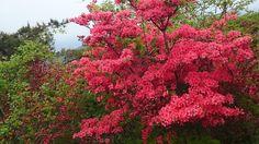 Azalea Flower  Google+
