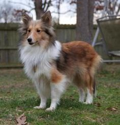 This sheltie looks almost exactly like my cousins dog did. R.I.P Shelby