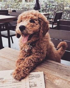 "Will wants a brown labradoodle named ""Teddy"". This guy is exactly what I picture ❤️ Super Cute Puppies, Cute Little Puppies, Cute Little Animals, Cute Dogs And Puppies, Cute Funny Animals, Baby Dogs, Doggies, Cute Dogs Breeds, Happy Animals"