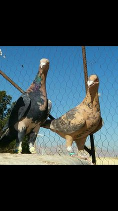 Pet Pigeon, Pigeon Loft, Dove Pigeon, Pigeon Pictures, Horse Pictures, Pretty Birds, Beautiful Birds, Pigeon Breeds, Homing Pigeons