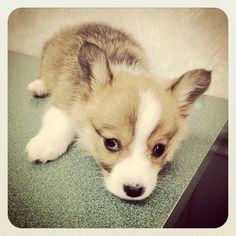 A corgi puppy named Risu.