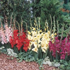 Michigan Bulbs Dwarf Glad Mix