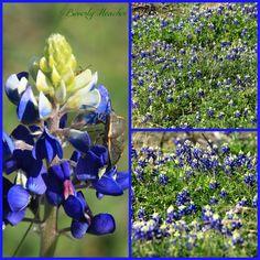 Texas bluebonnets taken in Georgetown TX - March 18.2013 by Beverly Heacker