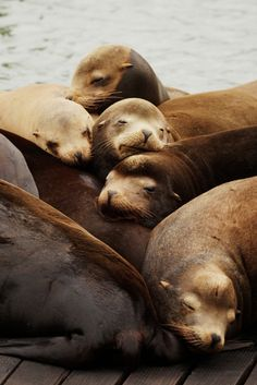 Have you seen the most famous residents of San Francisco's Pier 39?…