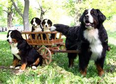 Image detail for -... you can purchase puppies of berner sennenhund bernese mountain dog