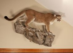 Another Awesome Cougar Mount ! Bear Mounts, Taxidermy Display, Tiger Pictures, Mountain Lion, Animal Heads, Leopards, Deer Hunting, Snow Leopard, Big Cats